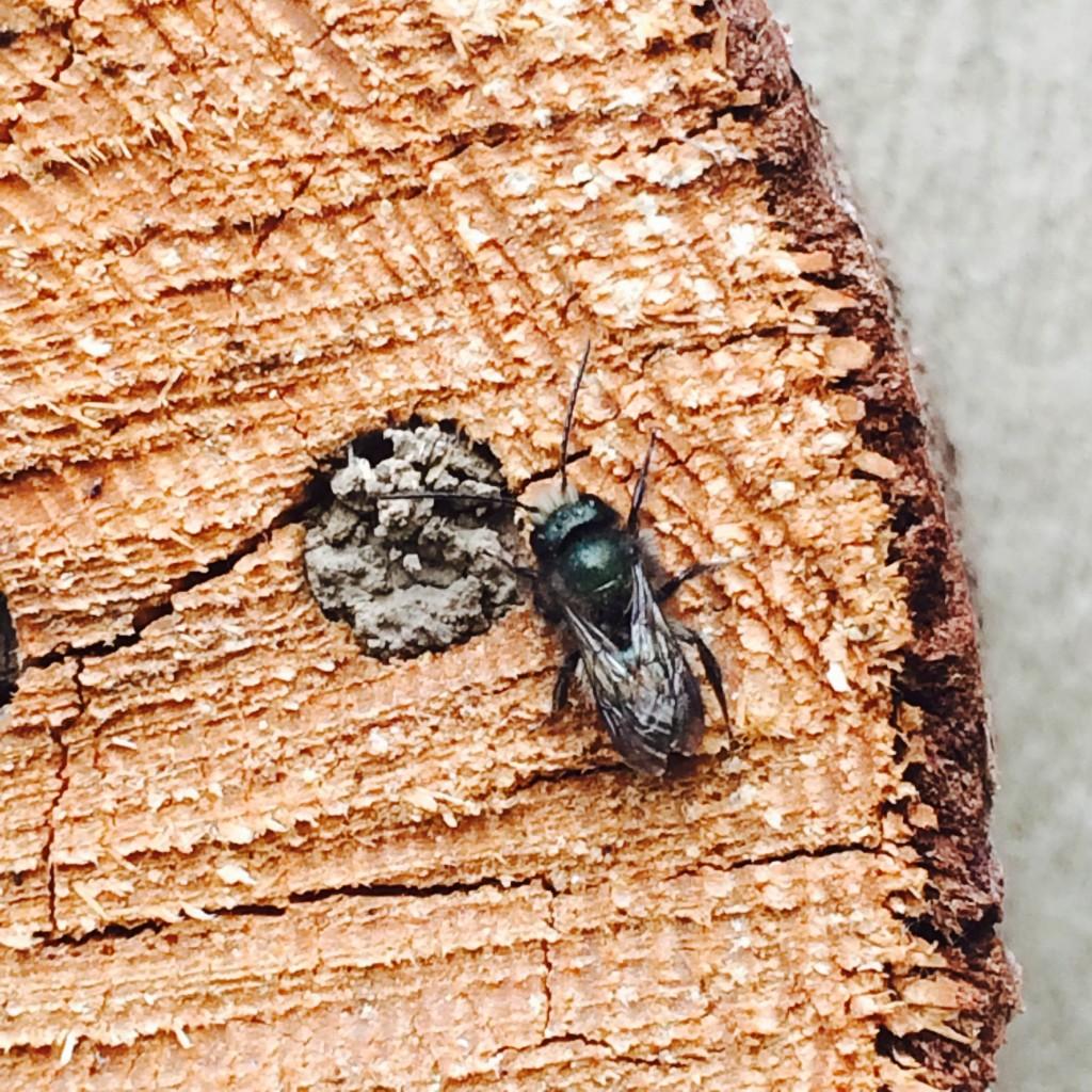 Blue orchard mason bee
